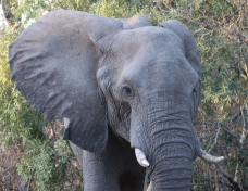 An elephant walking towards us.