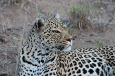 Leopard keeping watching over her territory.