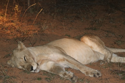 Lion sleeping after a kill.