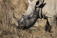 White rhino (square mouth low to the ground) eating grass.