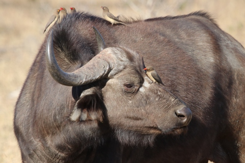 Buffalo with Red-Billed Oxpeckers