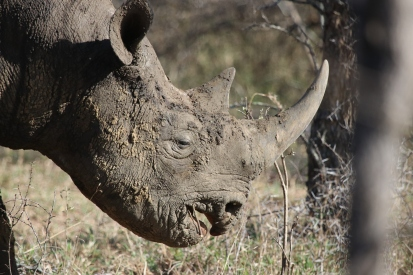 Black rhino (hooked lipped held mid-body level) walking through the bush.