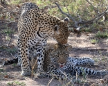 Leopard and her cub after a kill at Thornybush.