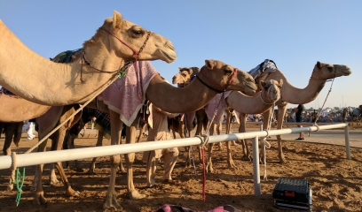 Camels Basking in the Sun