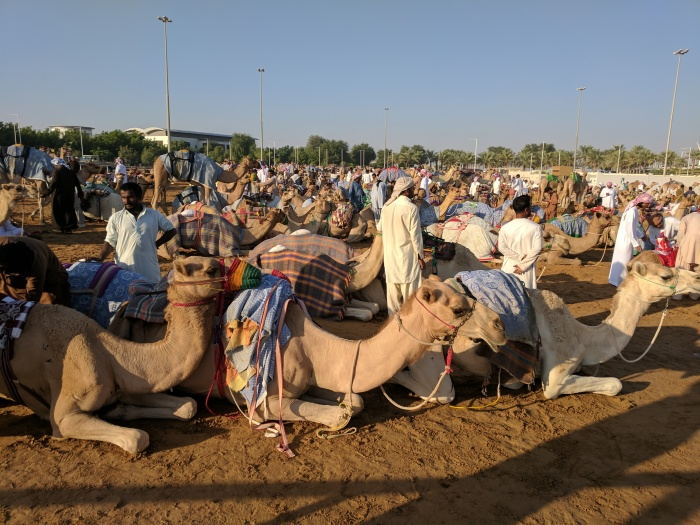 Camels resting before their race.